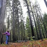 Thinning project pitched to save pines in Oregon forest