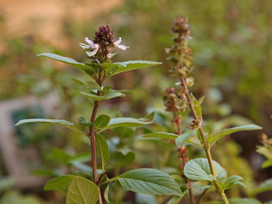 Thai basil grows on the rooftop garden of the Sheraton Phoenix Downtown.