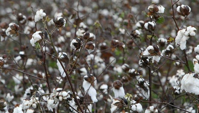Cotton bolls are seen in the rain in a field along U.S. Highway 45 East in Medina.