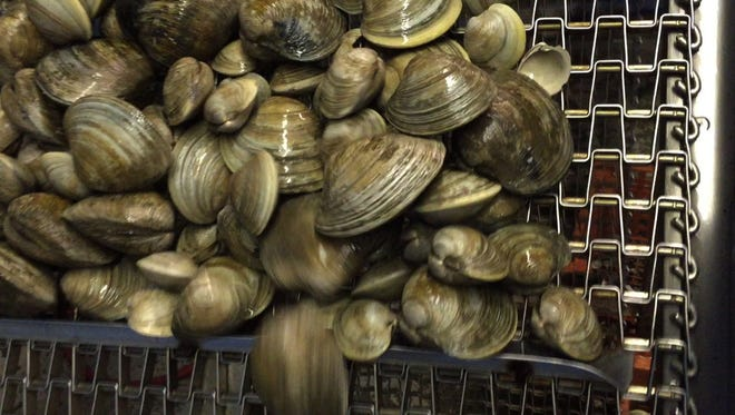 Clams on a conveyor belt at the James T. White Clam Depuration Plant in Highlands.