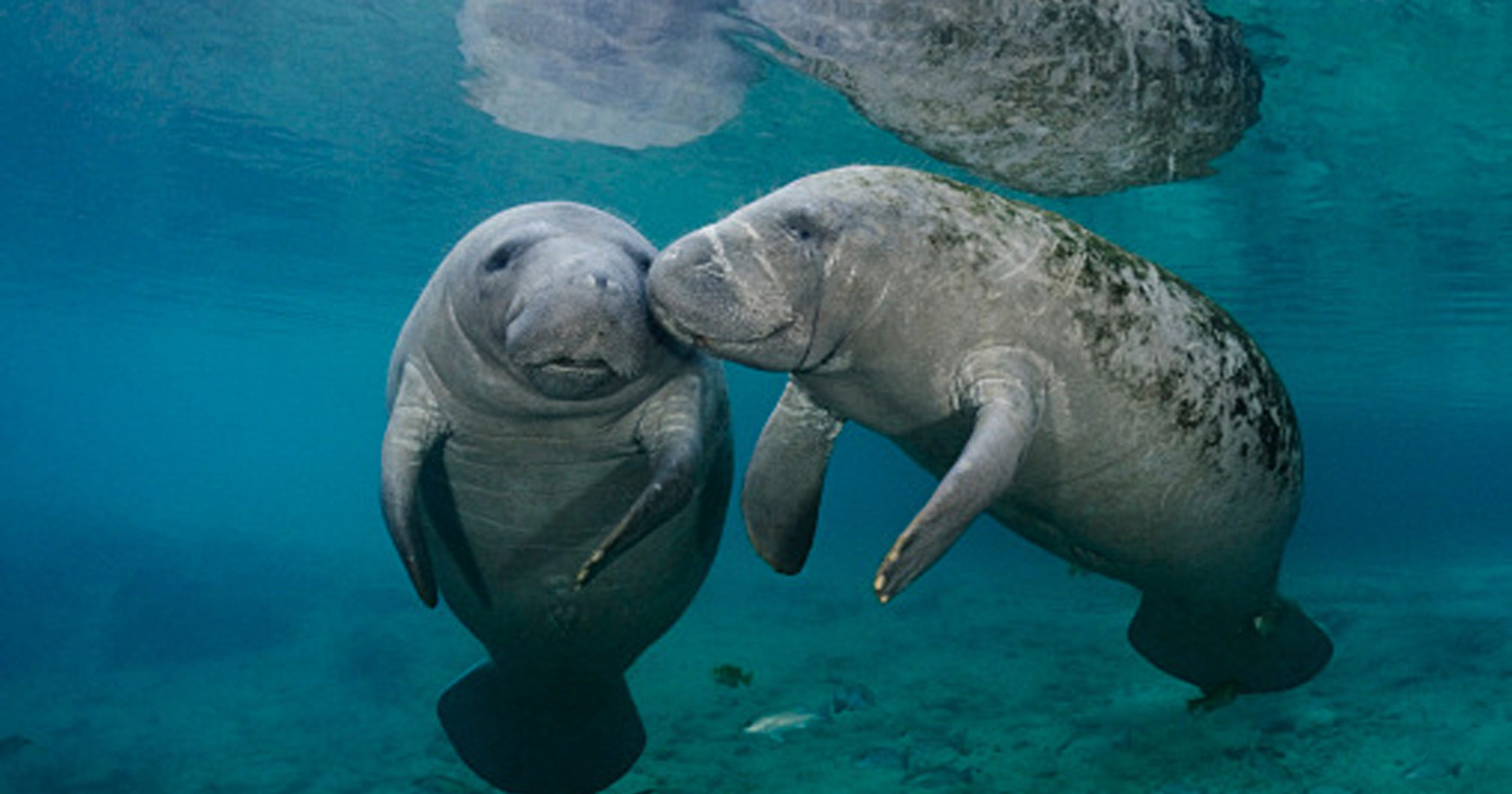 Florida red tide: Report manatees affected by toxic algae