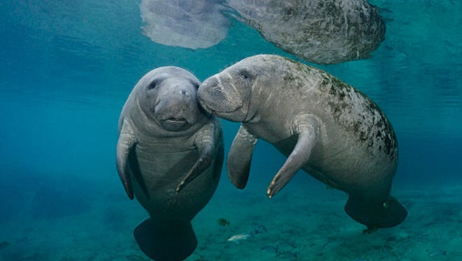 Two Florida manatees socialize in the Warm Springs, Fla.