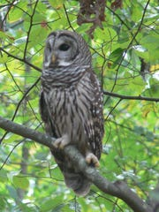 A barred owl perches in a tree. Shiloh Battlefield will host an owl program in the visitor center auditorium at 7 p.m. today.