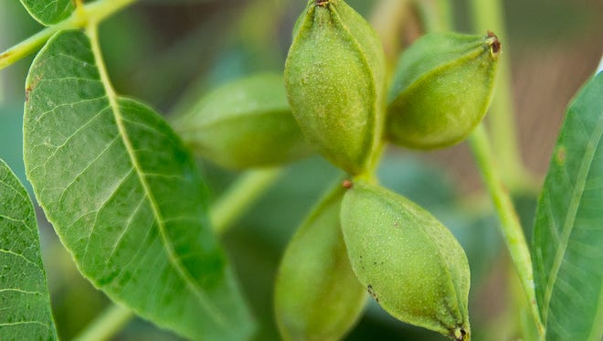 This year's pecan crop looks to be a good one according to the Texas A&M AgriLife Extension Service.