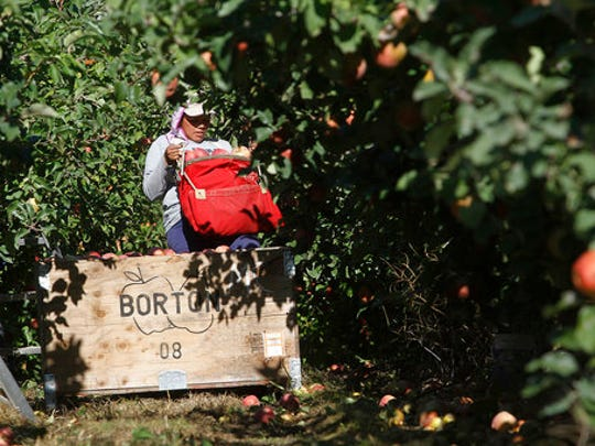 FILE - In this Oct. 3, 2014, file photo, a worker picks apples at Flat Top Ranch in Walla Walla County, Wash. Harvesting the vast fruit orchards of Eastern Washington each year requires thousands of farmworkers, many of them working illegally in the United States. That system could eventually come to an end as at least two companies are rushing to get robotic fruit picking machines to market.