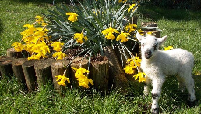 Lambs and flowers are springing up all over at Wolston Farm.