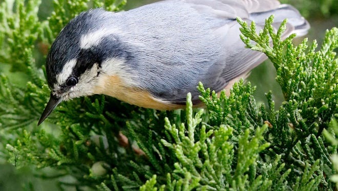 A red-breasted nuthatch forages in the Meadowlands.
