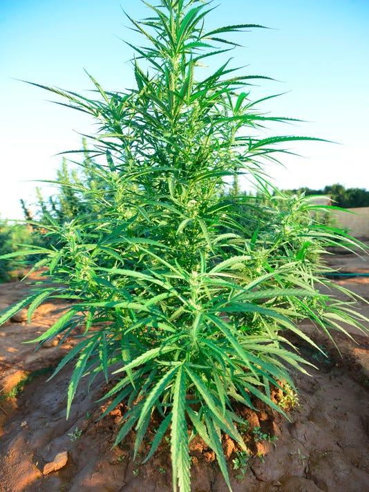 636059966926060109-VTD0905-Marijuana-3654.JPG