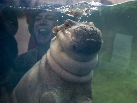 Want To Catch A Glimpse Of Fiona The Hippo