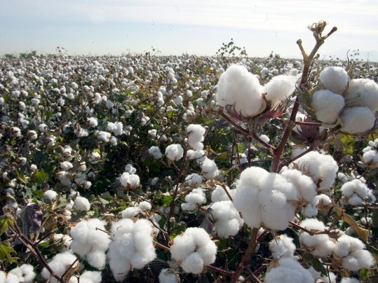 Everything you wanted to know about growing cotton Raising Arizona