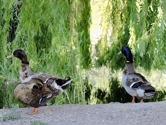 A family of Mallard ducks stops for a grooming session