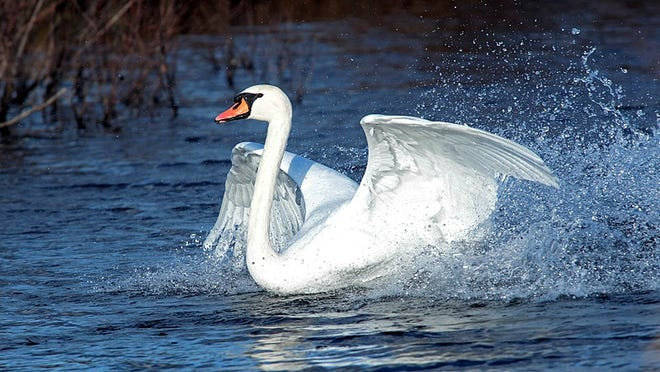 A mute swan lands at James Baird State Park.