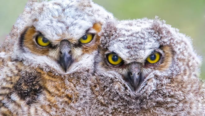 Great horned owls populate the Willamette Valley.