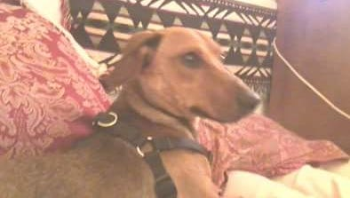 Koko is a red brindle linebacker dachshund.