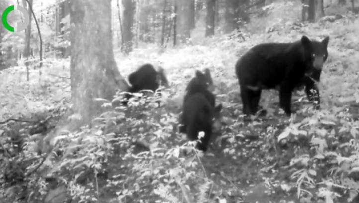 Pine Mountain bear cubs and their momma captured on trail camera
