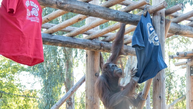Daniel, the Phoenix Zoo's 9-year-old Bornean orangutan briefly touched the Ohio State Buckeye T-shirt and then turned his serious attention to the Irish on Wednesday, Dec. 30, 2015.