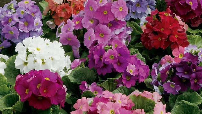 The Libre series of Primula obconica offers rare nostalgic colors.