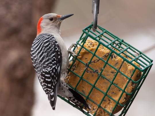 Suet attracts red-bellied and other woodpeckers, nuthatches