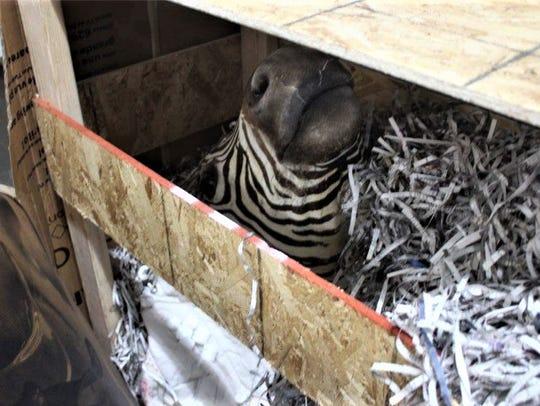 The head of a stuffed zebra was found in raids linked