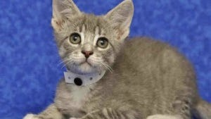 Adoption fees are waived for adult cats this week at the Arizona Humane Society.