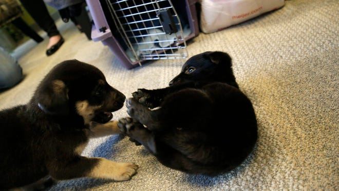 Uber Puppies visit The Enquirer newsroom in downtown Cincinnati on Friday, Feb. 5, 2016.