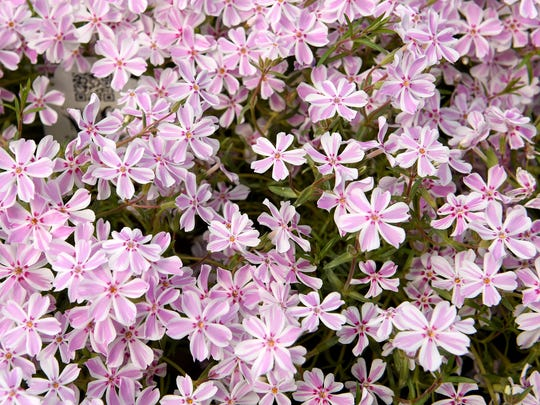 Creeping phlox for sale at Sprout Garden Center in Coshocton.