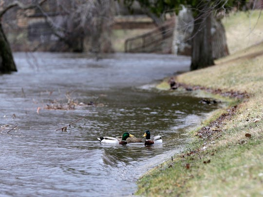 Ducks splash around in the rising Wisconsin River along 1st Avenue South in Wisconsin Rapids March 17, 2016.