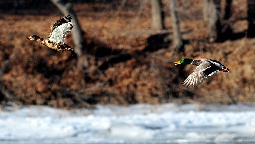 Mallards. A snowmobiler at Tip-Up Town in Houghton Lake is accused of running down seven ducks.