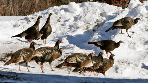 FILE - In this Feb. 9, 2009, file photo, wild turkeys walk through a snowy farm yard in Williamstown, Vt. Nearly a half century earlier, the wild birds that have come to symbolize Thanksgiving in the United States, were almost gone from the Vermont countryside. In 2016, they number in the tens of thousands...a success story of wildlife restoration.