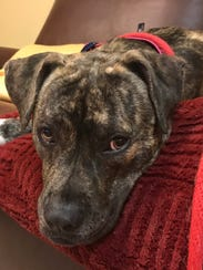 Meet 1-year-old Jackie, a Boxer/Pit Bull mix, who was