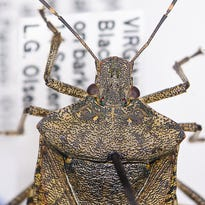 An example of the brown marmorated stink bug is seen through a microscope  at Michigan State University.