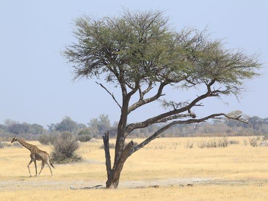 Zimbabwe Cecil The Li_Aske