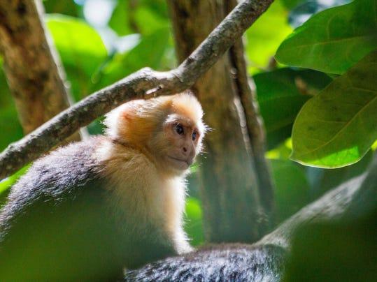 Risultati immagini per monkeys flake stone tools