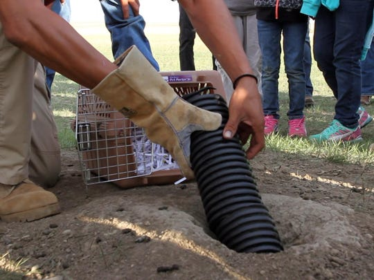 Chase Main, a biologist working with the Fort Belknap Tribal Fish & Wildlife Department, uses black piping to guide a black-footed ferret into a den near Snake Butte.