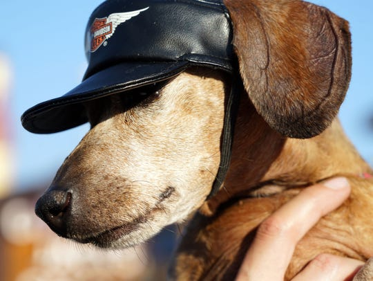 Pippi, a dachshund, shows off her Harley-Davidson hat