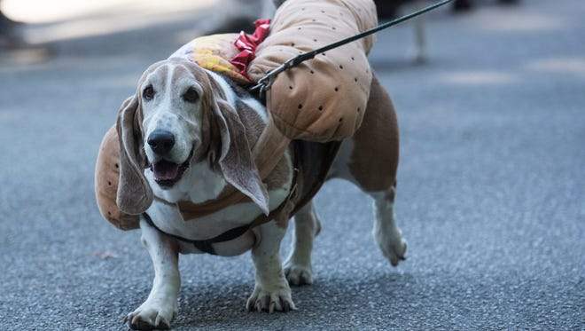A dog dressed as a hot dog walk during the pet parade, Saturday, October 21. Codorus State Park's Halloween in the Park is Oct. 20-21, with the pet parade, hayrides, and decorated campsites.