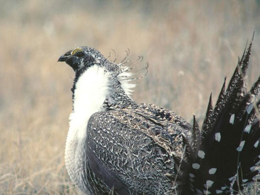 sagegrouse-1