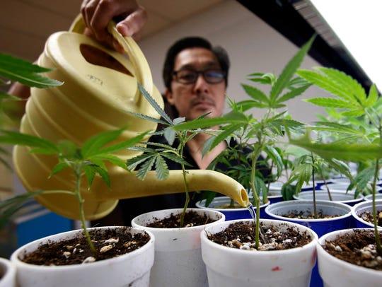 Canna Care employee John Hough waters young marijuana