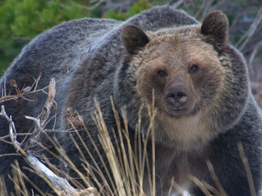 Wyoming game wardens say hikers near the Wind River Range shot and killed a grizzly bear sow in self-defense.