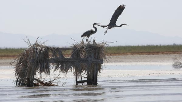 California's Dying Sea: Part 3: As the Salton Sea deteriorates, bird populations are crashing
