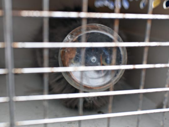 A police animal transportation cage keeps this stray cat from running off Tuesday before it can be freed of a peanut butter jar stuck on its head. The animal was stuck in the jar for about four days according to residents of the Oakview Apartments in Millville. Animal Control Officer Anthony Cills arranged for Dr. Kevin Ludwig at Animal Clinic of Millville to treat the cat.