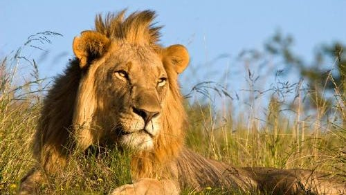 An African lion; If one Michigan lawmaker is successful, large carnivores will be able to breed at Michigan zoos.