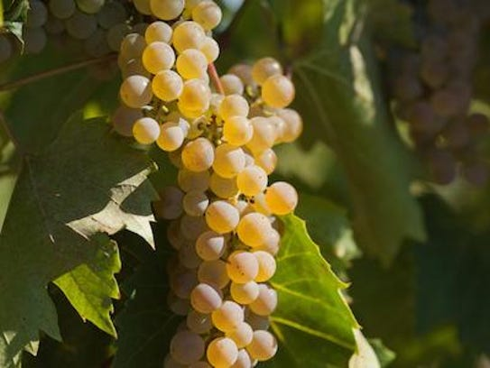 Frontenac blanc is a cold-hardy grape discovered 12