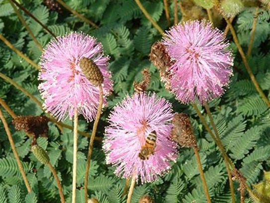 Native sunshine mimosa (Mimisa strigillosa) is a low
