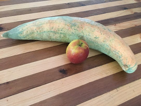 Candy roaster squash is an heirloom from north Georgia