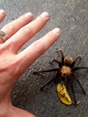 The areas around CSU-Pueblo and at Lake Pueblo State Park offer good potential for seeing tarantulas.