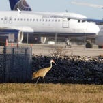 A sandhill crane passes by commercial airplanes that spent the night at Southwest Florida International Airport as a result of the major snow storm up north. This overnighter was last year; however, there have been others this winter.