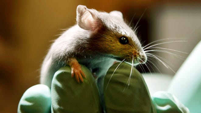 The study examined the brains of mice that had been exposed to chronic stress.