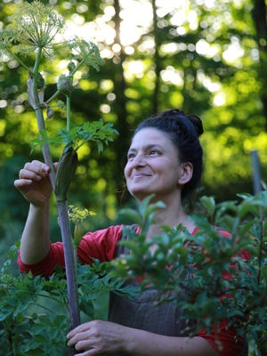 """Dina Falconi is show with angelica, from the book """"Foraging & Feasting: Field Guide and Wild Food Cookbook,"""" by Dina Falconi; illustrated by Wendy Hollender."""
