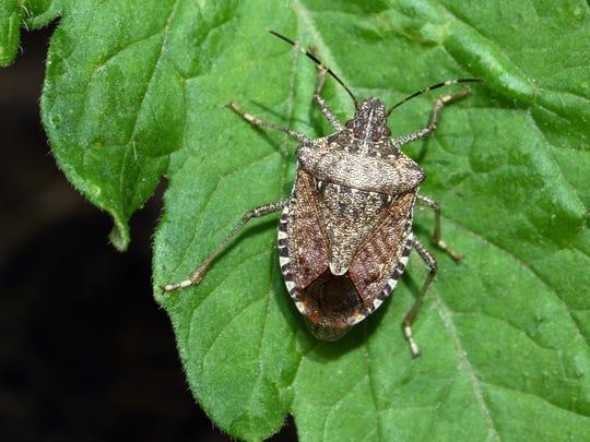 Stock photo: Stink bug on tomato plant